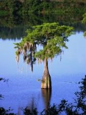 A lone cypress tree