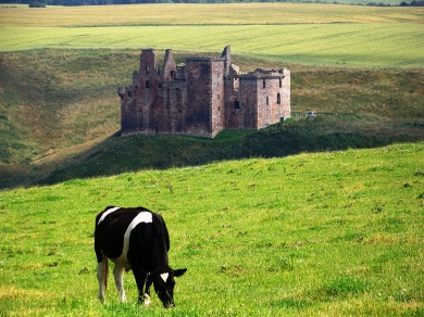 OOld Scottish Castle and a Cow