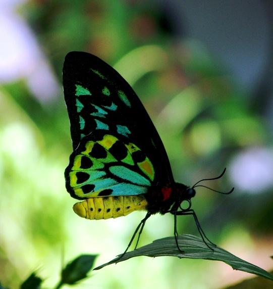 Blue-Green Butterfly