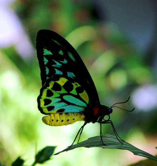 Blue-Green Butterfly