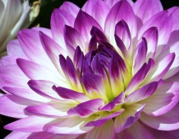 A Purple and White Dahlia