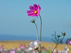 A Pink Wildflower