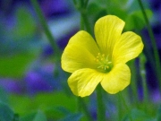A Single LIttle Yellow Weed Flower