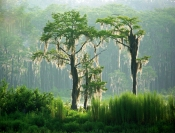 Florida Cypress Trees
