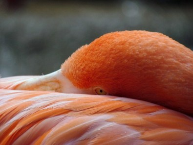 A Napping Flamingo