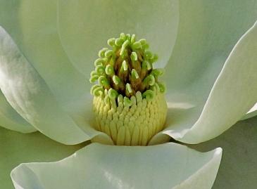 Inside the Magnolia Blossom