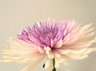 One White and Purple Mum