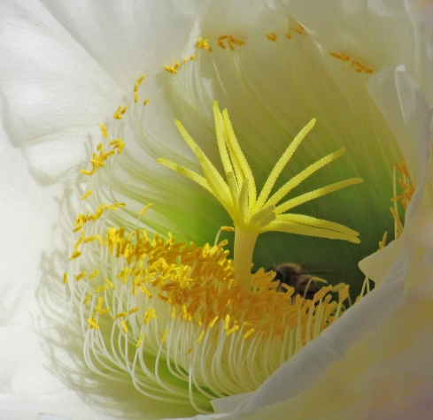Inside the cactus flower