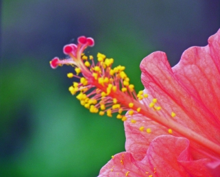The Tip of a Hibiscus