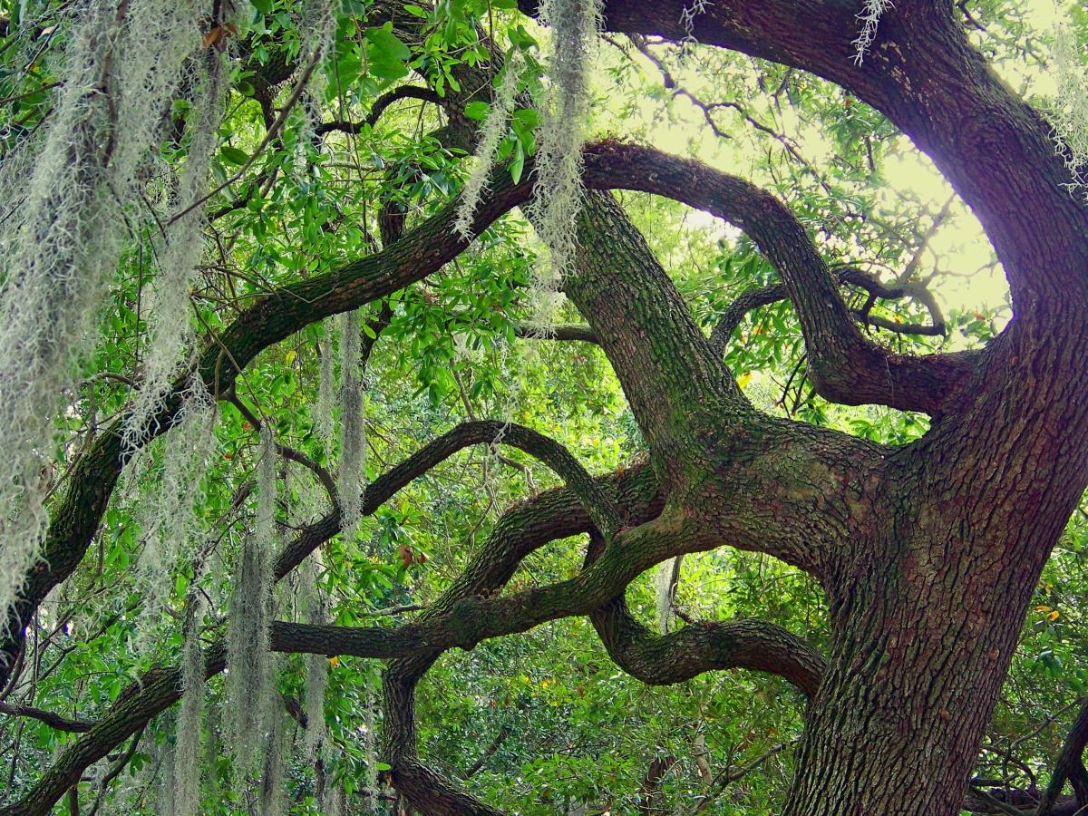 Old Savannah Oak