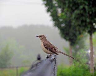 An Alert Mockingbird