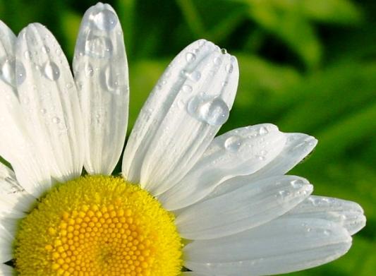 Daisy's Dew Drops