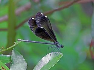 Dainty Damsel Dragonfly