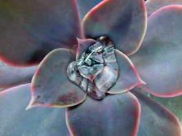 Succulent with a water droplet