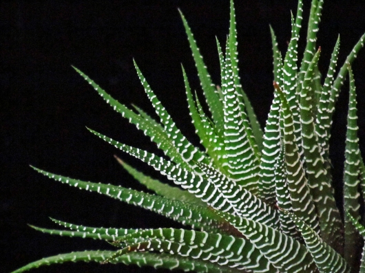 Succulent Tentacles