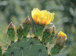 One yellow cactus flower
