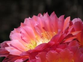 Pintk Desert Flower