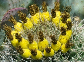 A ring of yellow cactus flowers