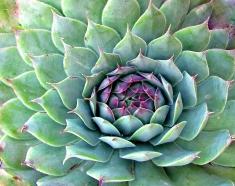 Fresh Succulent