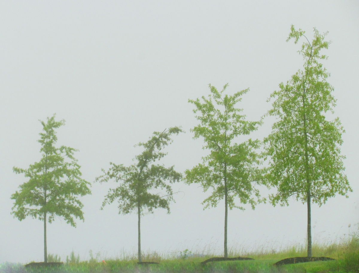 Four Trees in the Fog