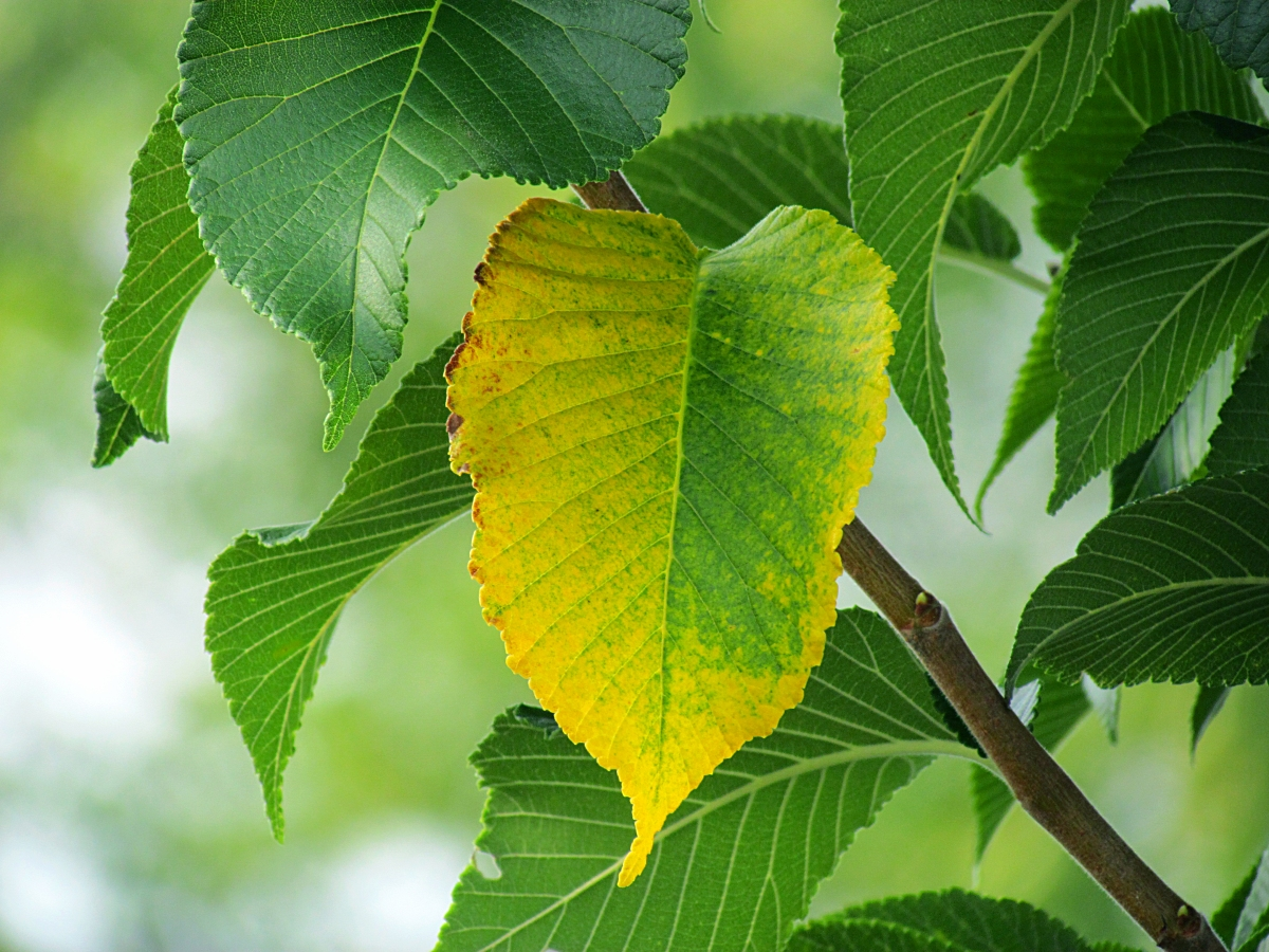 A leaf beginning to turn yellow.