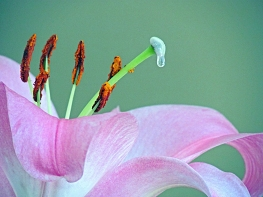 Photograph of a pink lily with a drop of water.