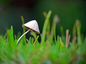 A little mushroom in the grass.