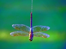Bungee Jumping Dragonfly style.