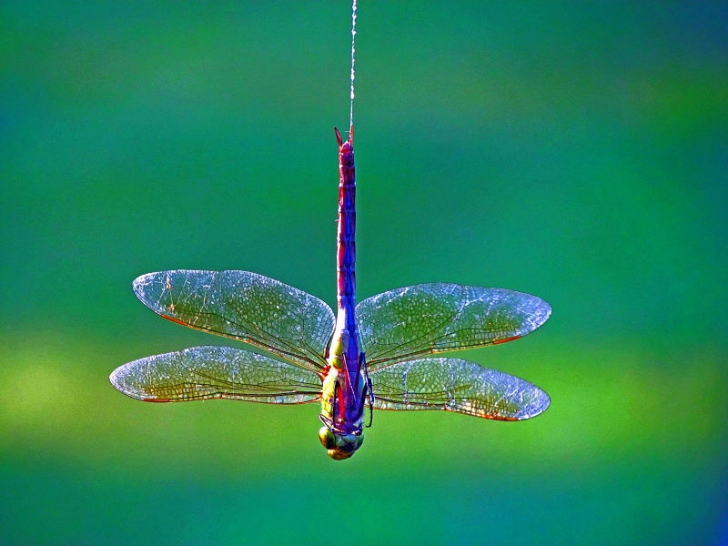 Bungee Jumping Dragonfly Style