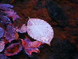 Fall leaf floating in a creek.