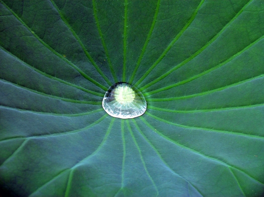 Drop of water on a lily pad.
