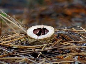 Half an acorn on pine needles.