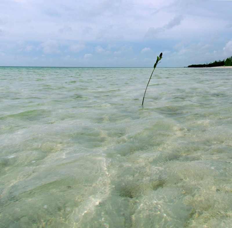 A Lone stem of sea grass enjoying the Grand Bahama shore line.