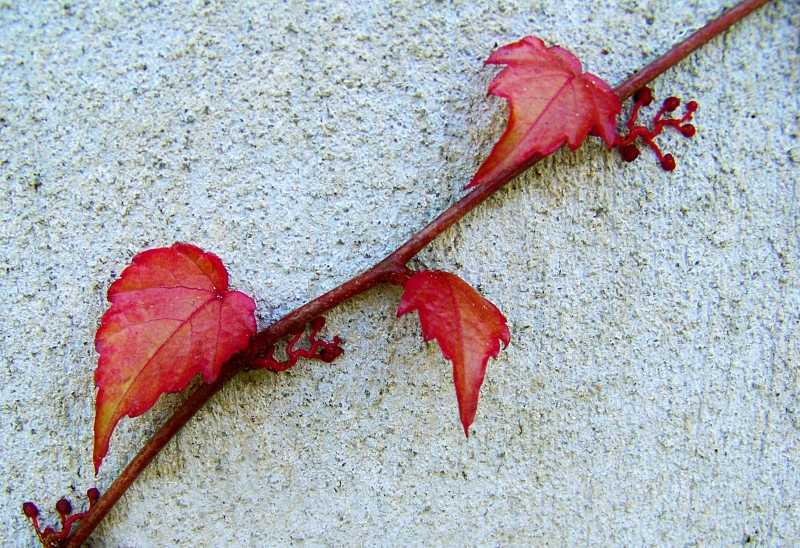 Vine of small red leaves.