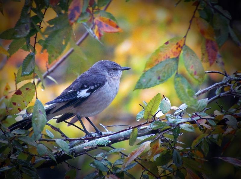 Mocking bird in the fall.