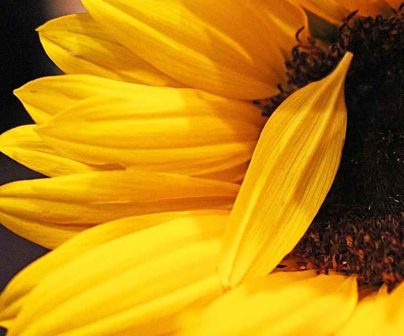 Sunflower petal.