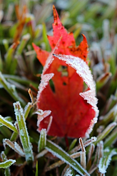 Frosted fall leaf.