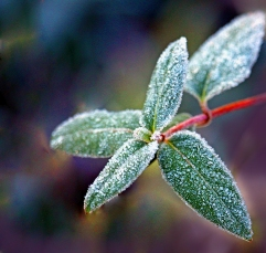 Macro nature photography of frosted leaves.