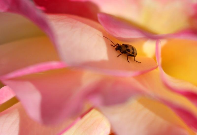 Ladybug in a rose.