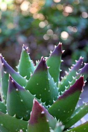 Nature photography of a succulent.
