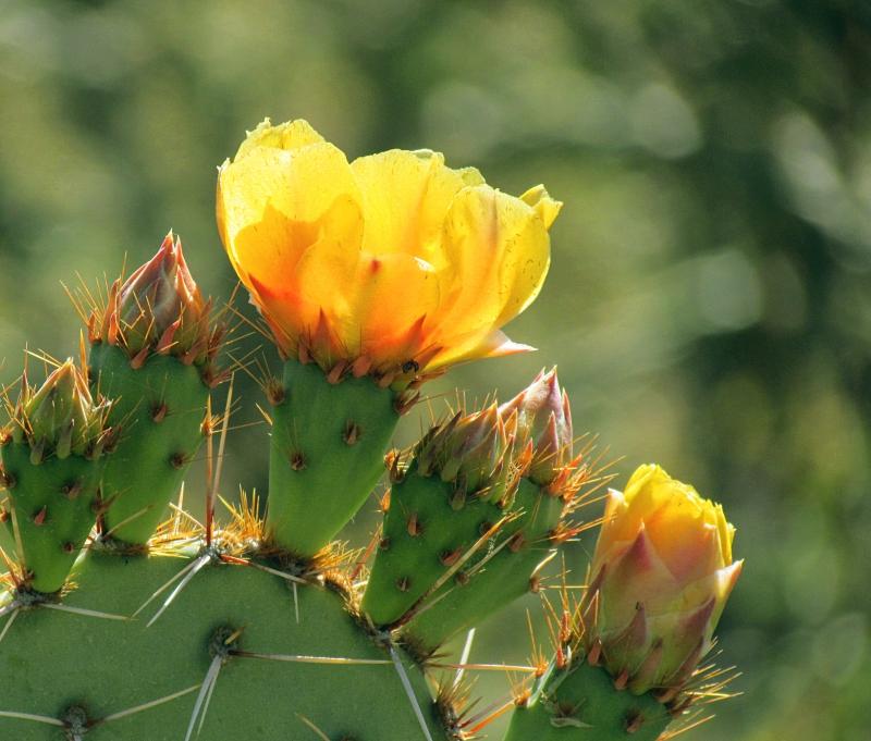 Yellow cactus flower.