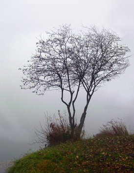 Bare trees in the fog.