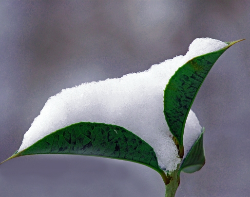 Snow nestled in leaves.