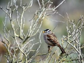 White Crown Sparrow