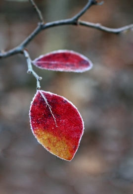 Frosted red leaf.