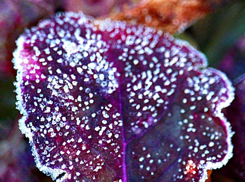 Ice crystals on a leaf.