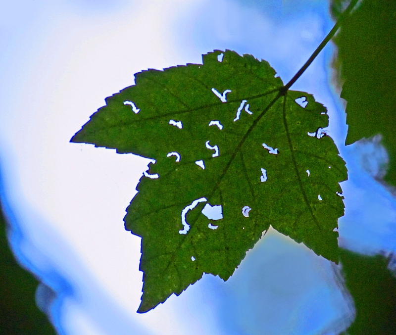 Leaf with holes.