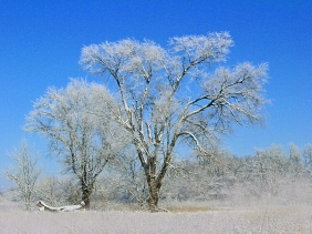 Snow covered trees from Kansas.