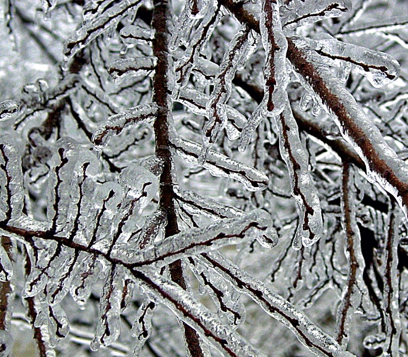 Ice covered branches.