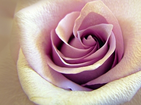 Pale pink rose unfolding.
